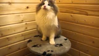 Норвежский лесной котик Ivar On Fashion Peak, 9,5 месяцев, часть 2