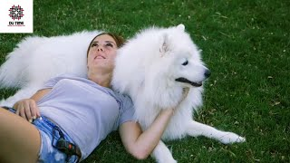 10 surprising facts you did not know about the samoyed dog