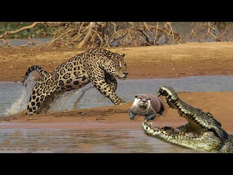 Видео: ГИГАНТСКАЯ ВЫДРА или бразильская выдра! гроза аллигаторов и ягуаров!!!