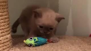 Учимся охотиться (котята американская бурма)