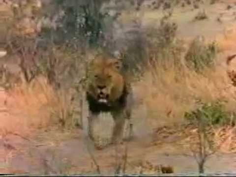 YouTube - Lion's Vs Hyena AWESOME!!! Watch a Male Lion in ...