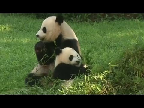 Baby Panda undergoes emergency surgery