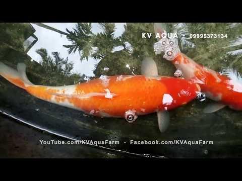 How To Breed Koi Fish At Home Setup