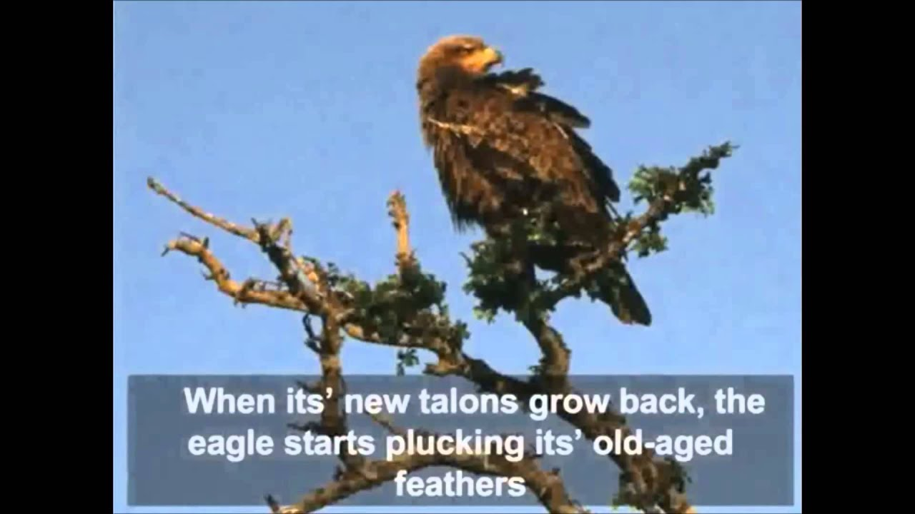 the parable of the eagle Just like the eagle, people who have learned to think of themselves as something they aren't, can re-decide in favor of their real potential they can become.