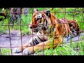 Feeding Keisha and Hoover Tiger