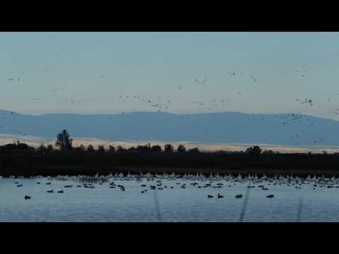 Geese in flight, Sacramento National Wildlife Refuge