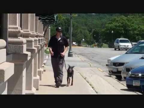 Angel (blue doberman pinscher) Boot Camp Dog Training video