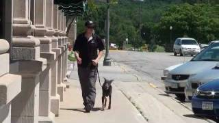 Angel (blue Doberman Pinscher) Boot Camp Dog Training Video
