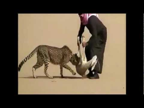 Cheetah Reintroduction in India