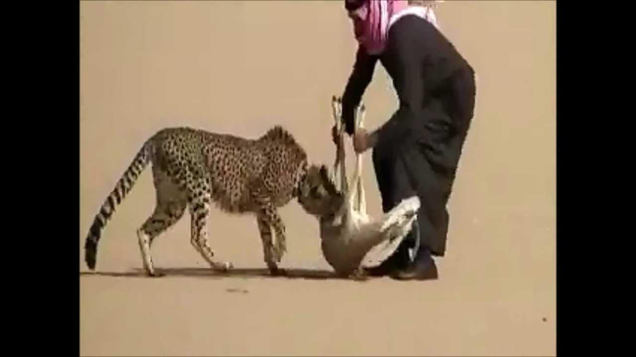 Cheetah Reintroduction in India
