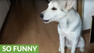 Husky howls every time the phone rings