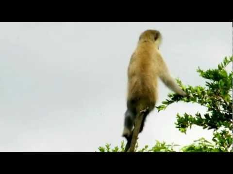 Vervet Monkey - Alarm Call