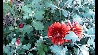 Хризантемы в моем саду.   Цветение  июль ноябрь