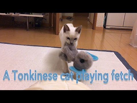 Our Tonkinese cat playing fetch