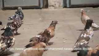 PIGEONS OF MAQBOOL BHAI