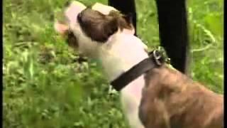 Собаки-убийцы: питы, стафы и були. Рассказ о смертоносных собаках.