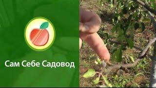 видео зачистка коры,дезинфекция и побелка плодового дерева 2013 год