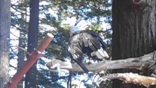 Bald Eagles at the Sequoia Park Zoo