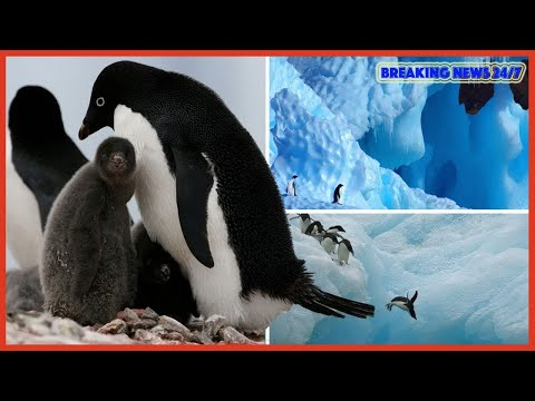 Thousands of baby penguins starve to death in Antarctica - Breaking News 24/7