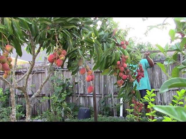 Lychee 2019 Heavy fruits Short tree - homegrown lychee in Florida Garden Q MVI 2109