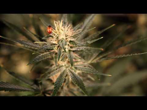 Colorado Grown Marijuana: Kalichakra