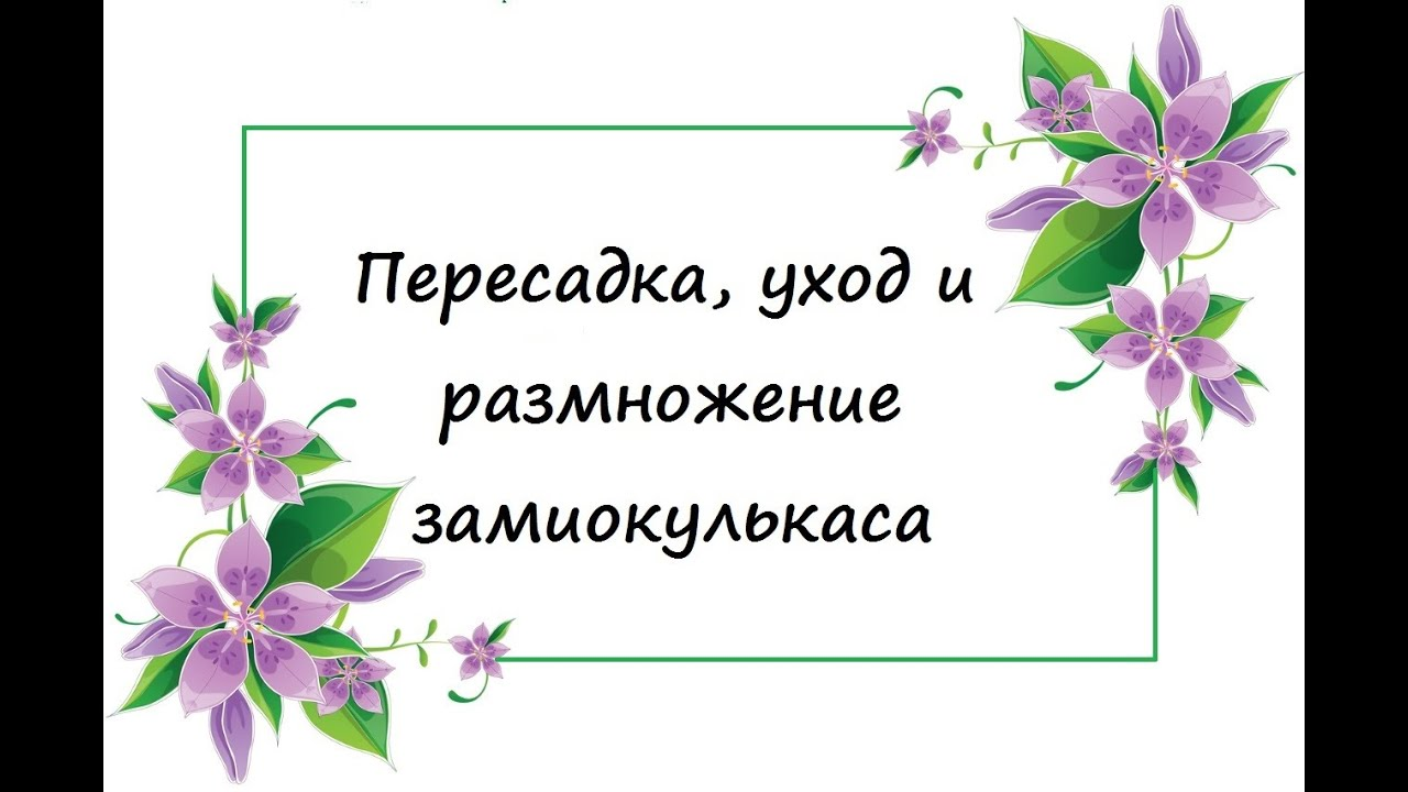 комнатный цветок замиокулькас пересадка