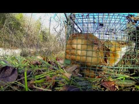 Bow Hunting And Predator Removal: New Trapping Tips & Surprises (#164) @GrowingDeer.tv