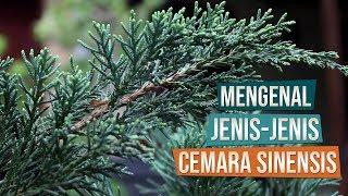 Mengenal Jenis Cemara Sinensis Berdasarkan Arah Tumbuh Bersama Mas Catur Bonsai