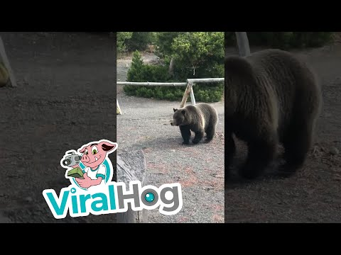 Bear Uses Yellowstone Boardwalk to Cross || ViralHog