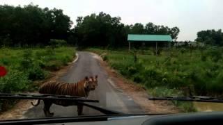 Tiger @ Safari Park, Gazipur