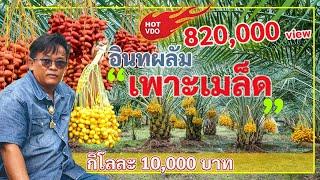 อินทผลัมเพาะเมล็ด พันธุ์ H1  กิโลละ 10,000 บาท