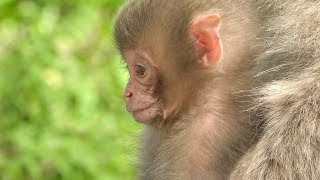 Spring is the snow monkey 's birthing season. Many, many, babies ar...