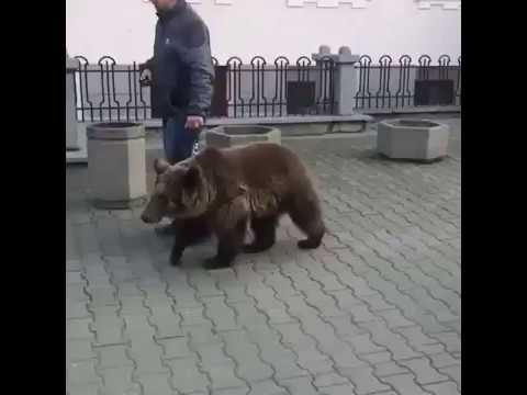 Медведь на поводке
