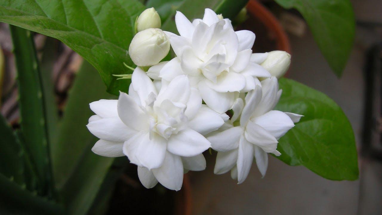 मोगरा फूल और इसके पत्ते के फायदे ...
