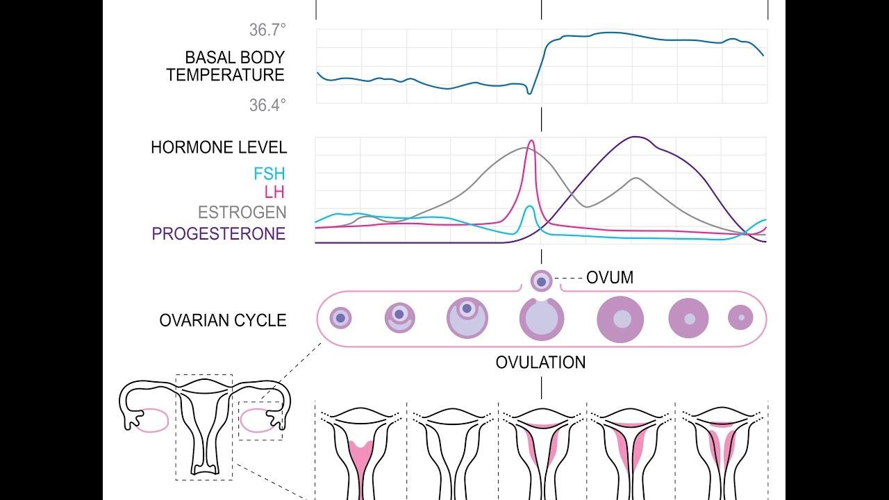 calcul fecondation ovulation