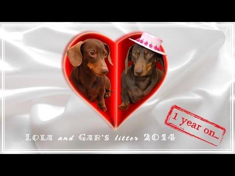 Mini Dachshund Litter 2014...1 year on...
