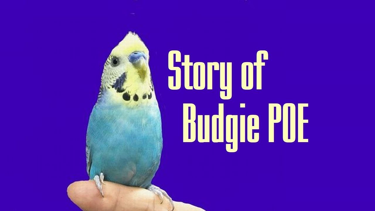 The Story of My Budgie Poe | インコ ポーの物語 [Adopting a parakeet from Bird Rescue Tsubasa]