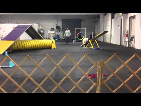 Keller The Double Merle doing agility