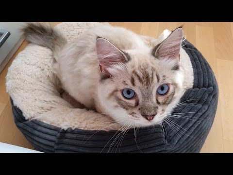 Ragdoll Kitten Thorin making biscuits and looking cute