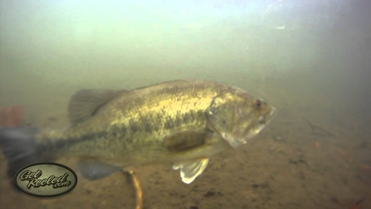 Largemouth Bass Facts, Information, and Photos