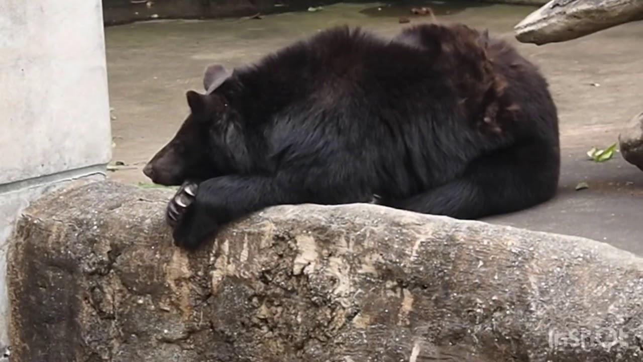 ツキノワグマのよねこのお昼寝タイム🌈とくしま動物園〜2020年6月9日