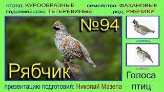Рябчик. Голоса птиц