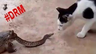 Sapos VS cobras  #DRM