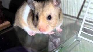 Download Video digger tunnel (Nibbles the hamster) xxx MP3 3GP MP4