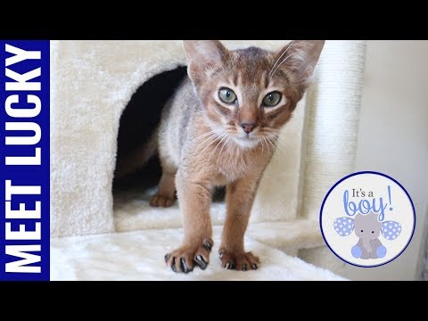 Meet Lucky  my new Abyssinian kitten