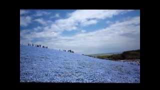 ひたち海浜公園 ネモフィラの丘 ネモフィラの丘 検索動画 28