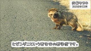 疥癬症のホンドタヌキ scabies in wild raccoon dog (Nyctereutes procyonoides, Sarcoptes scabiei)【狩猟獣】