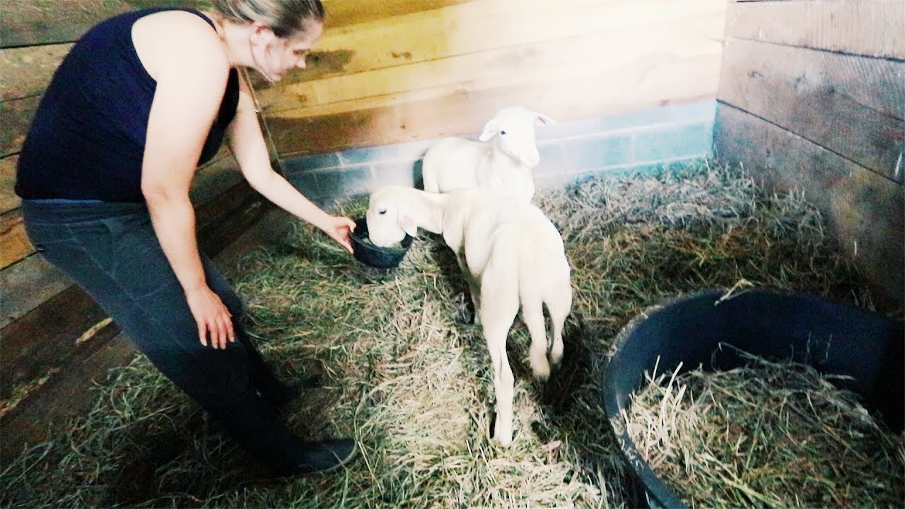 one-major-effort-to-save-our-sheep-again