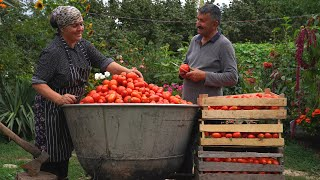 Harvesting 150 kilo Tomatoes and Cooking Tomato Sauce in Vikings Pan