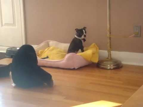 LAUGH FOR HOURS! Cute Brindle Boston Terrier Puppy Terrified of Stuffed Gorilla